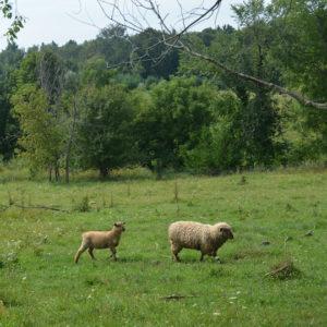 アーミッシュの隣のファームで出会った羊の親子